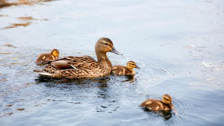 Kezdődik a szezon, hatalmas veszély leselkedik a vízi madarakra: mutatjuk, miért