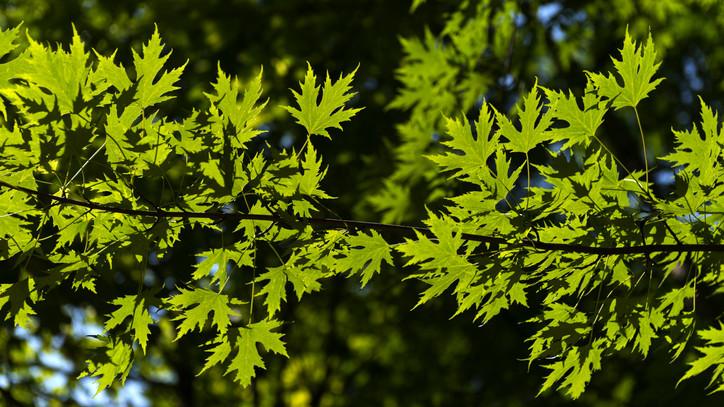 Szuperfák a kertekben: ezek a típusok csökkentik legjobban a légszennyezettséget