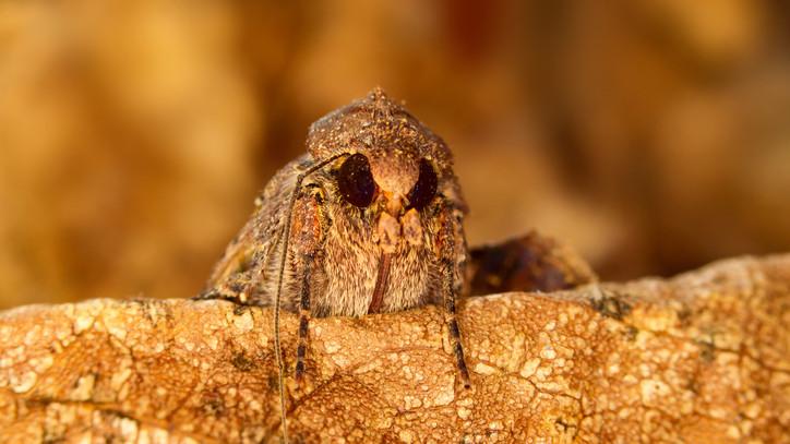 Több mint egy kártékony rovar? Fontos szerep jut a beporzásban ennek a lepkefajnak