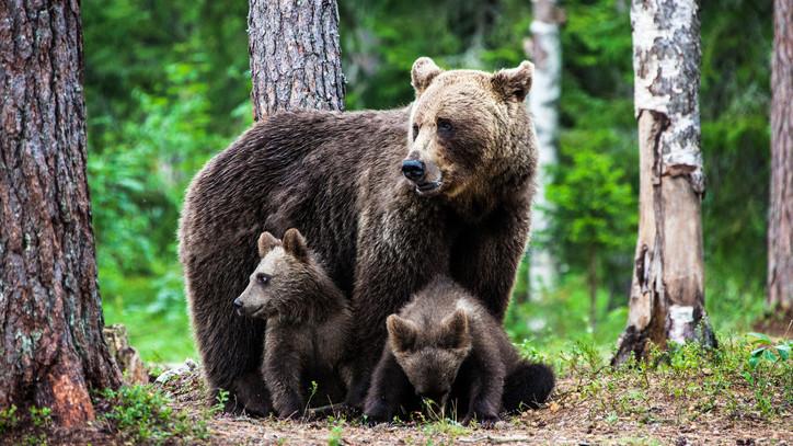 Figyelmeztetik a lakókat: medvecsalád látogatott meg több nógrádi falut is