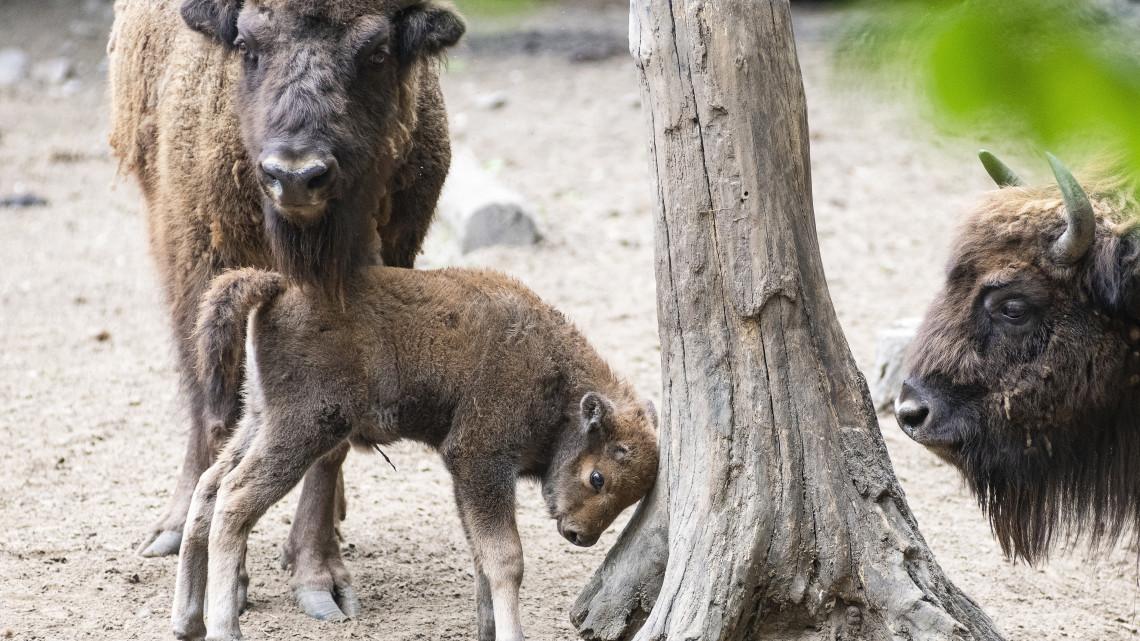 Újabb lakóval bővült a Nyíregyházi Állatpark: cuki fotókon az európai bölényborjú