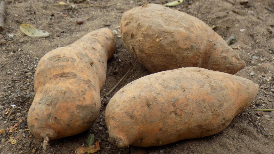 Íme a magyar szuperzöldség, amit pillanatok alatt elkapkodnak: ők termesztik