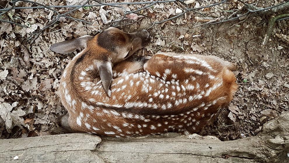 Megható videó: így állt lábra a nemrég született vadasparki gímszarvas borjú
