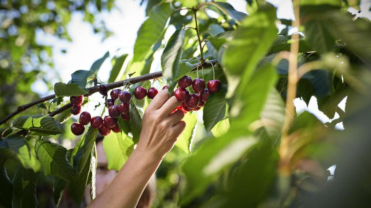 Ezekről a gyümölcsökről lemondhatunk idén? Erre számítanak a gazdák