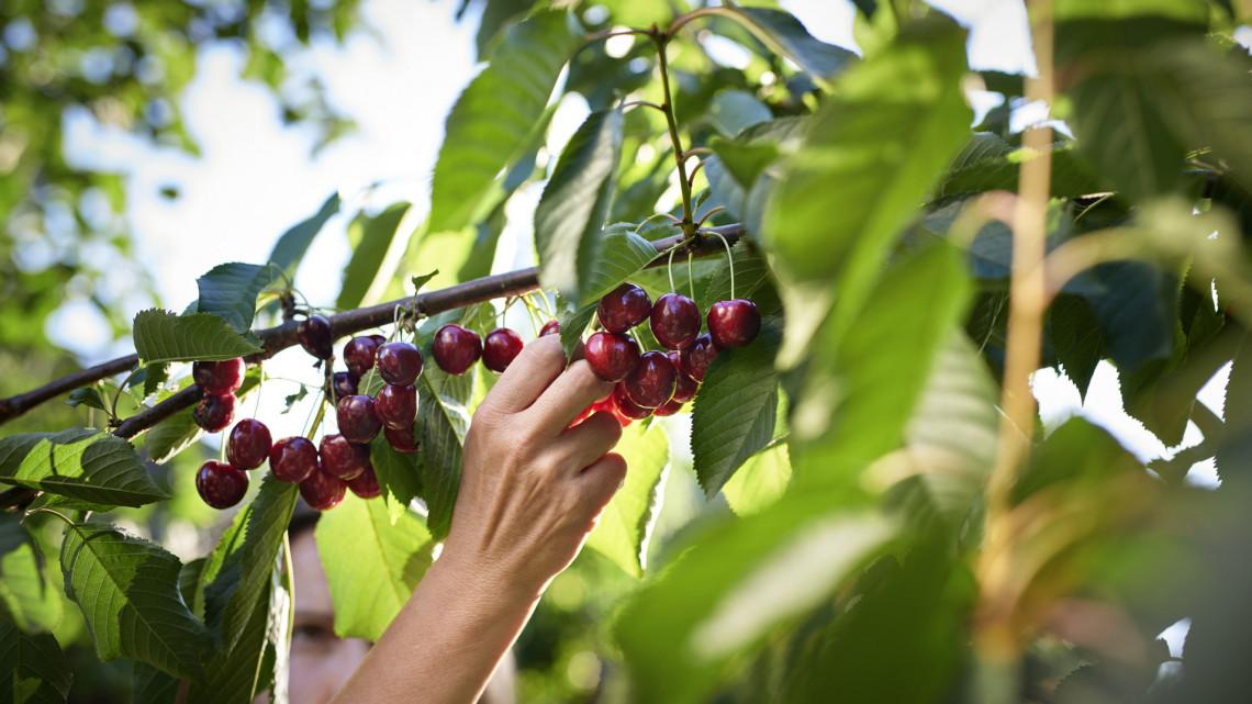 Lerohad a gyümölcs a fákról: hatalmas károkat okoz a hosszan tartó esőzés