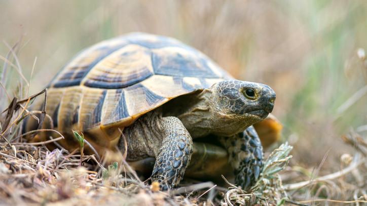 Lecsaptak a pénzügyőrök: teknősöket találtak egy furgonban
