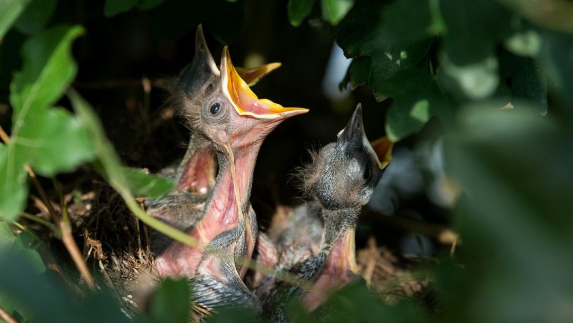 Figyelmeztet a madárvédelem: csak óvatosan, nem minden fióka árva