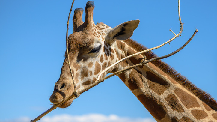 Új lakó érkezett: fiatal zsiráfbikával bővült a Szegedi Vadaspark