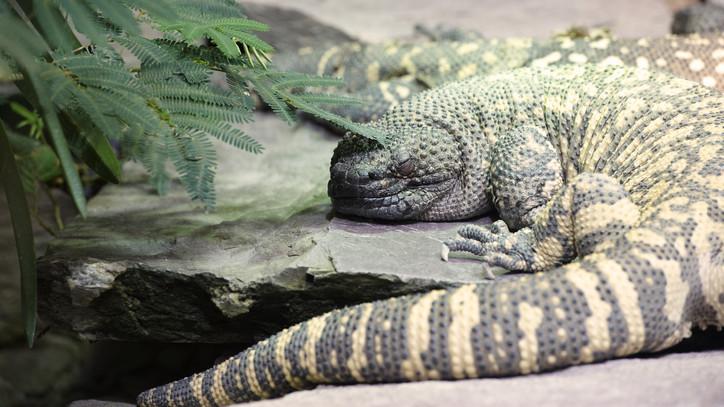 Különleges példány: mérgező harapással bíró hüllő érkezett a Nyíregyházi Állatparkba