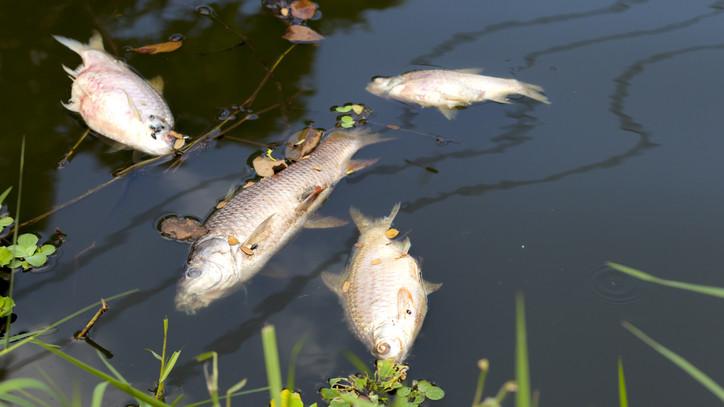 Brutális halpusztulás: közel 7 mázsa döglött hal lebegett a magyar folyó felszínén