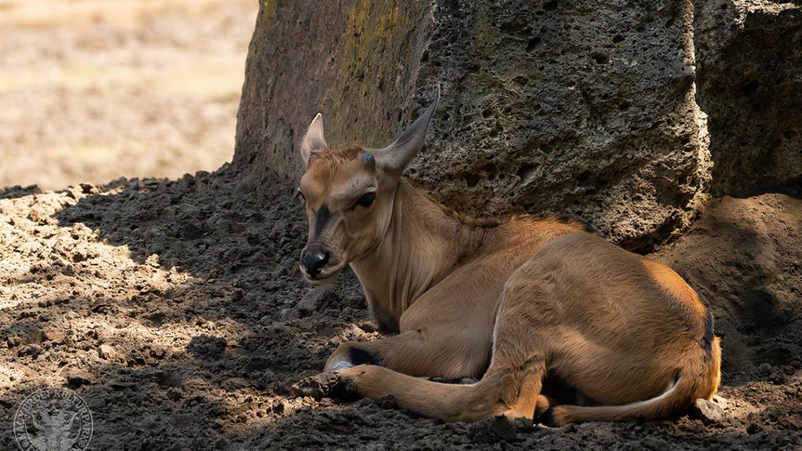 Baby boom a javából: jávorantilop született a Debreceni Állatkertben
