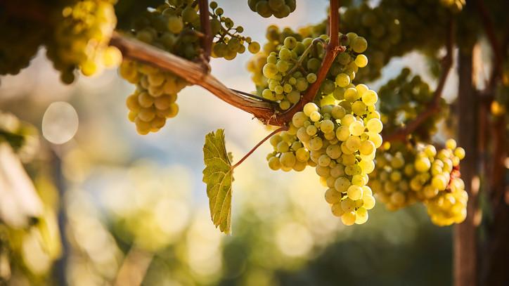 Beindul a zöldszüret Tokajban: ez a szőlőfajta lesz az év kedvence?