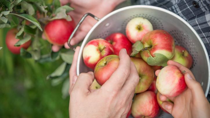 Iszonyatos pusztítás a magyar gyümölcsösökben: ezek a kártevők felfalnak mindent