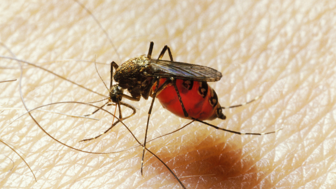 Ez a 3 szúnyogfaj rendkívül veszélyes lehet: itthon is megjelentek, innen ismerheted fel