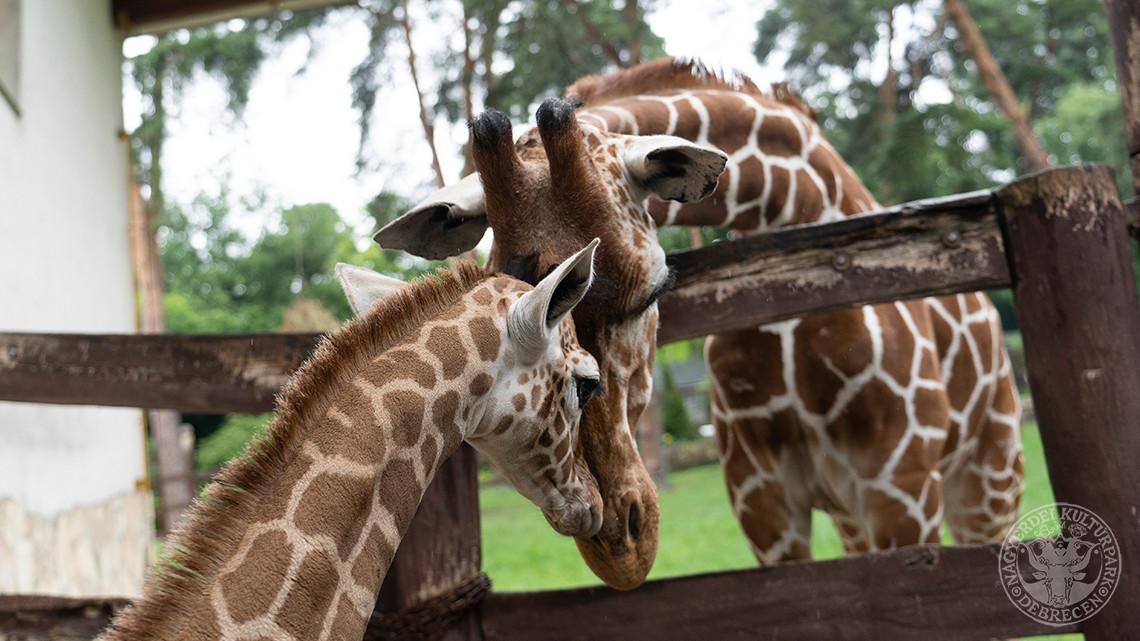 Baby boom Debrecenben: zsiráflány született az állatkertben
