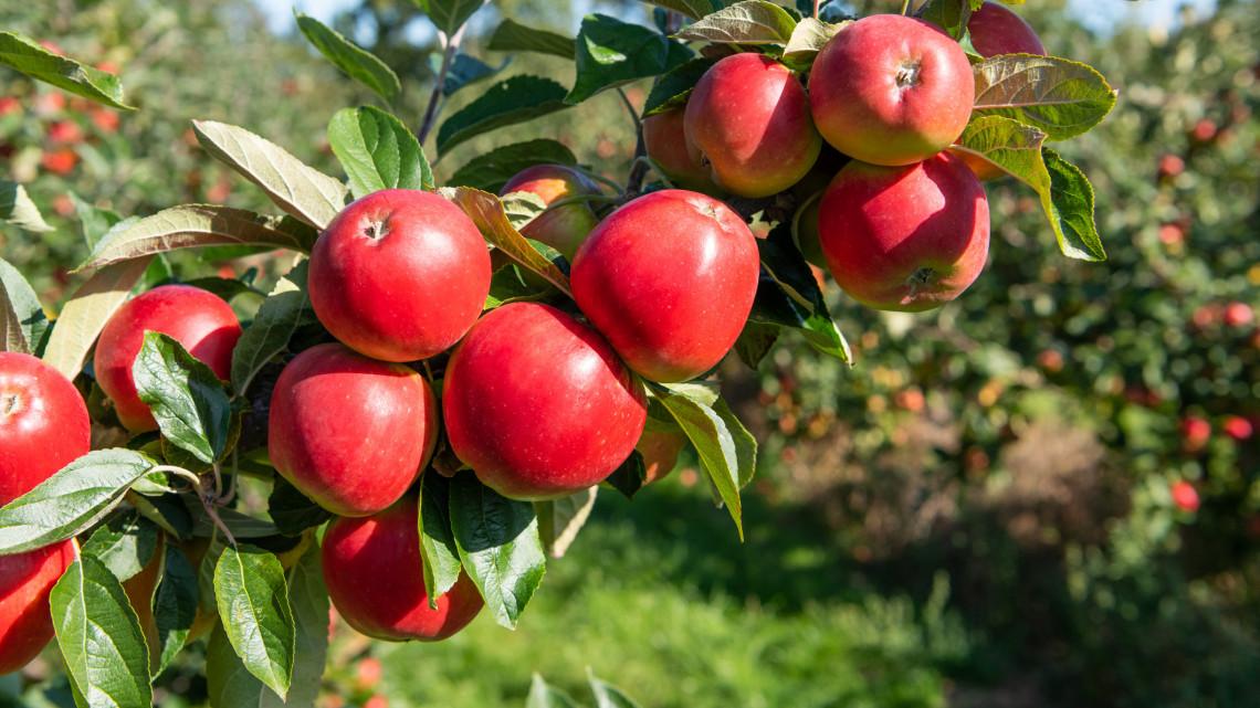 Betett az időjárás a magyarok két kedvenc gyümölcsének: brutálisan kevés lehet a termés