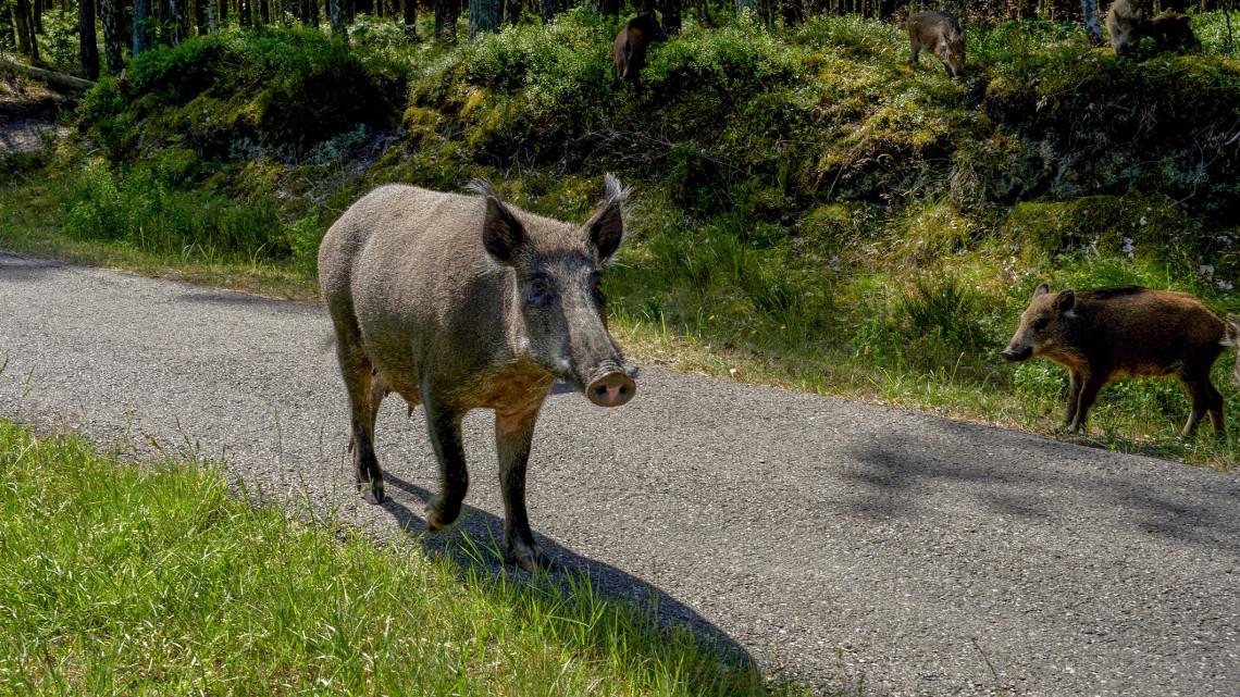 Egyre több a vaddisznó a Balatonnál: elképesztő videón az utcákon randalírozó állatok