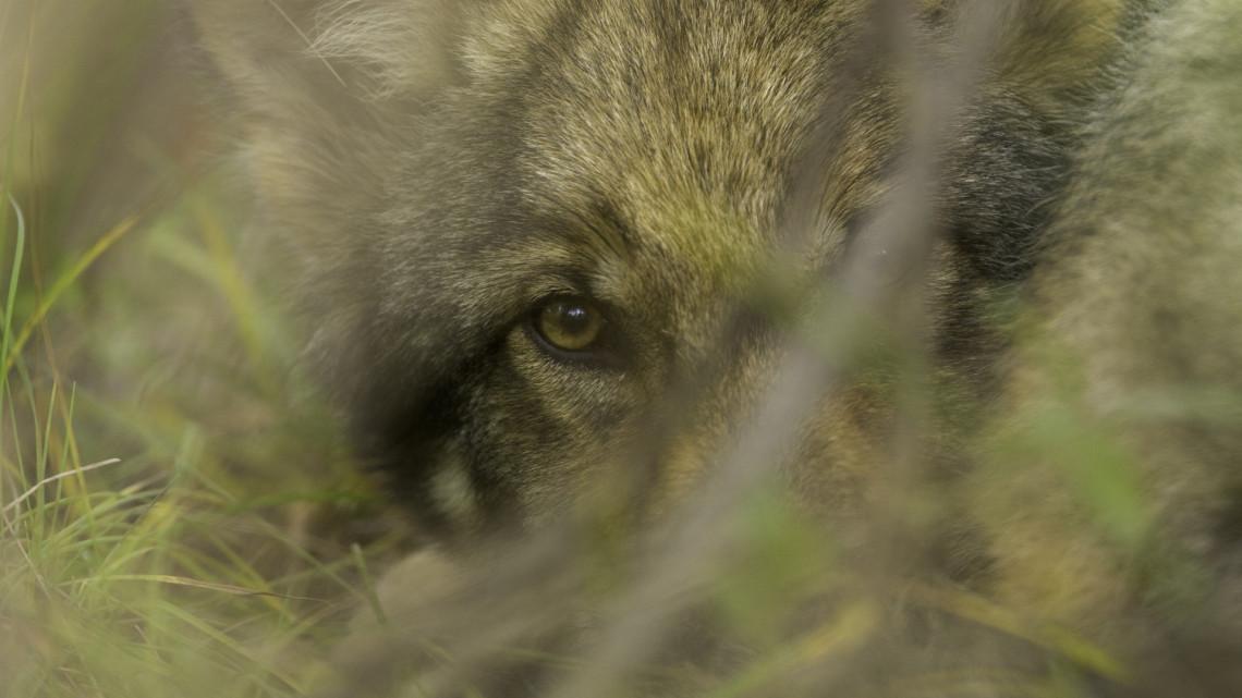 Farkaskölyköt láttak a Bükkben: elképesztően aranyos felvételen a különleges állat