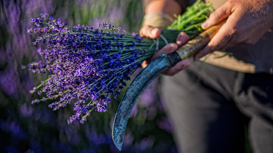 Mi mindenre jó a levendula, hogyan gondozzuk? A levendula ültetése, metszése, levendula szörp készítése