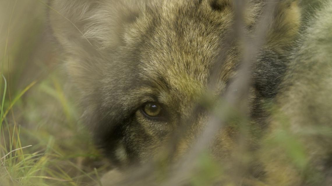 Komoly veszélyben vannak a Bükkben élő farkaskölykök: ezen múlhat az életük