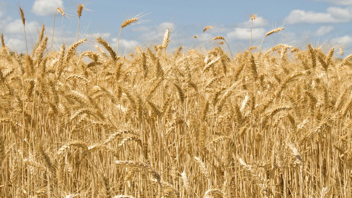 Erős volt a termés: külföldre is bőven jut magyar őszi búza