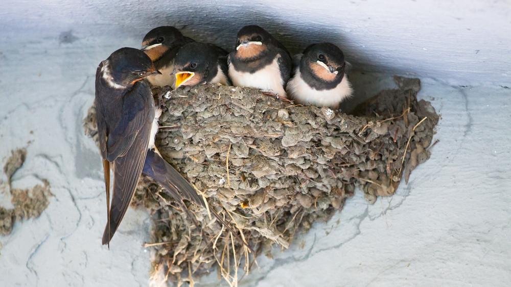 Lassan kipusztul ez az ősi magyar madárfajta: egyre többen mentik a kis állatokat