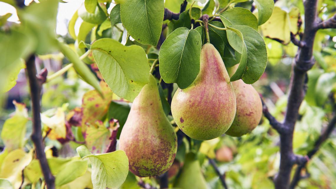 Siralmasan kevés lesz idén a két legnépszerűbb magyar gyümölcsből: jön a brutális drágulás?