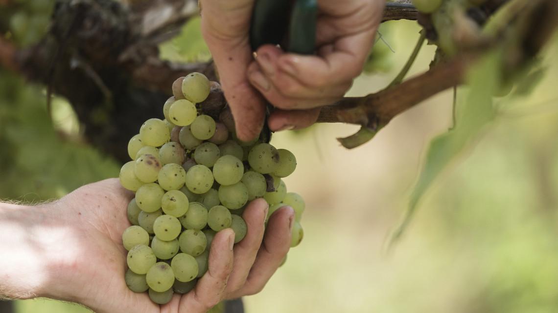 Kiderült: ez lesz a pincékben lévő, silány minőségű magyar borok sorsa
