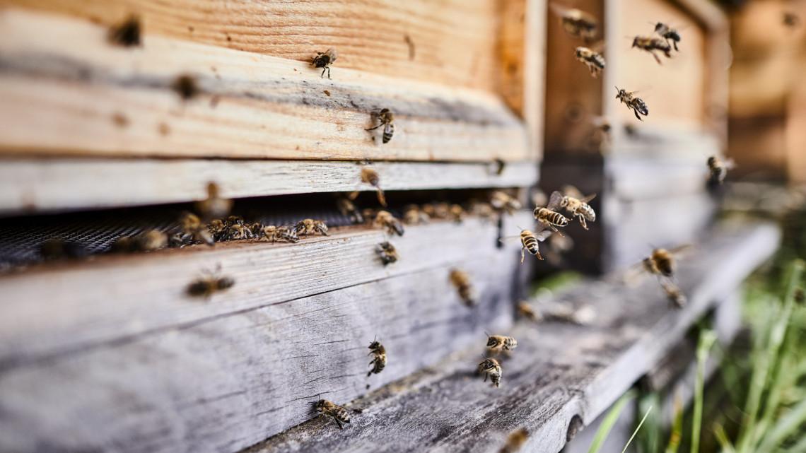 Friss kutatás: tényleg hatásosabb a magyar méz, mint az antibiotikum?