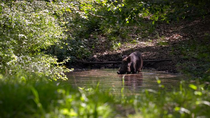Gyérítik a vaddisznóállományt, de nem látszik csökkenés: ráadásul a vírust más fajok is terjeszthetik