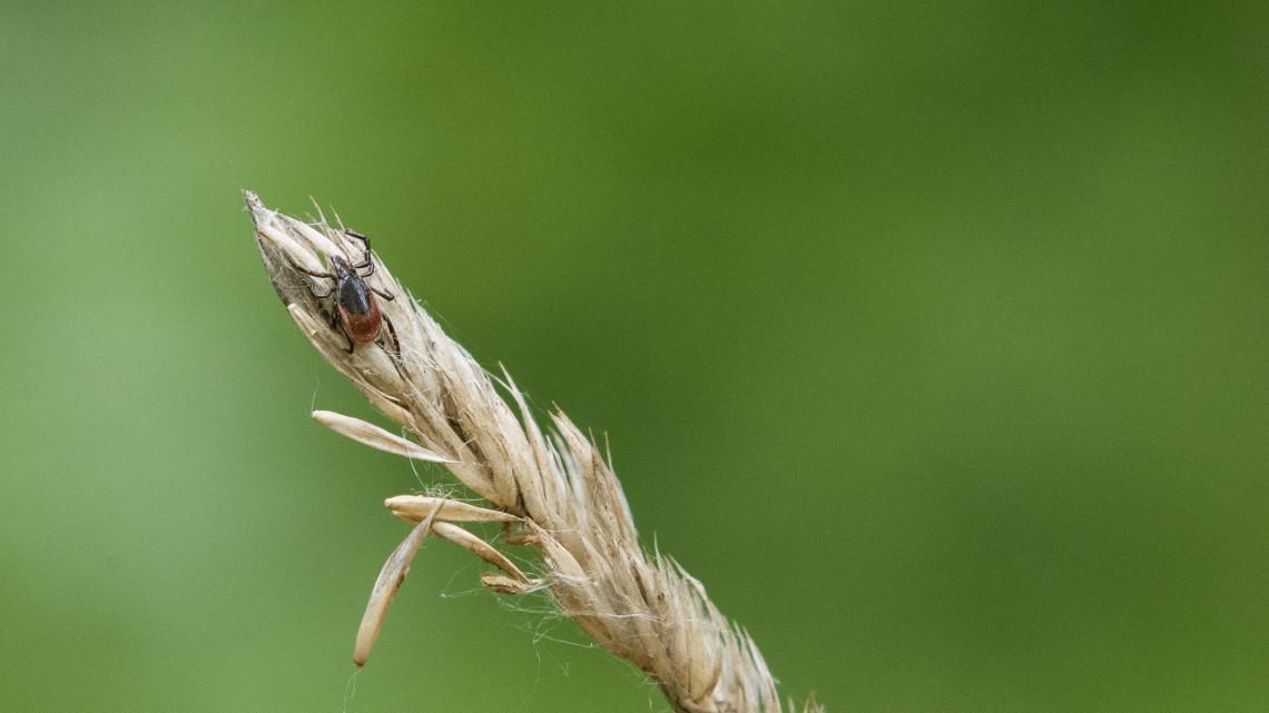 Már nem csak szezonálisan jelentenek veszélyt: egész évben jelen vannak a kullancsok