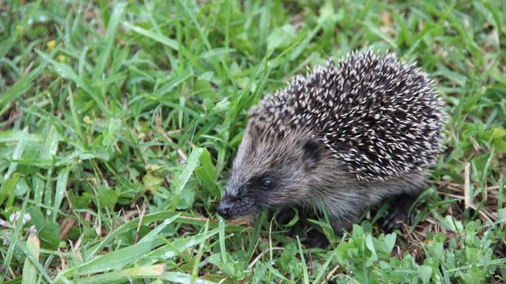 Vigyázz a kerti élőlényekre: így készíthetsz otthon egyszerűen sünlakot