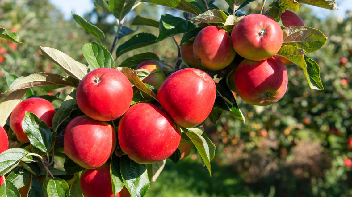 Kapkodnak a magyar almáért külföldön: tényleg hiány lesz belőle itthon?