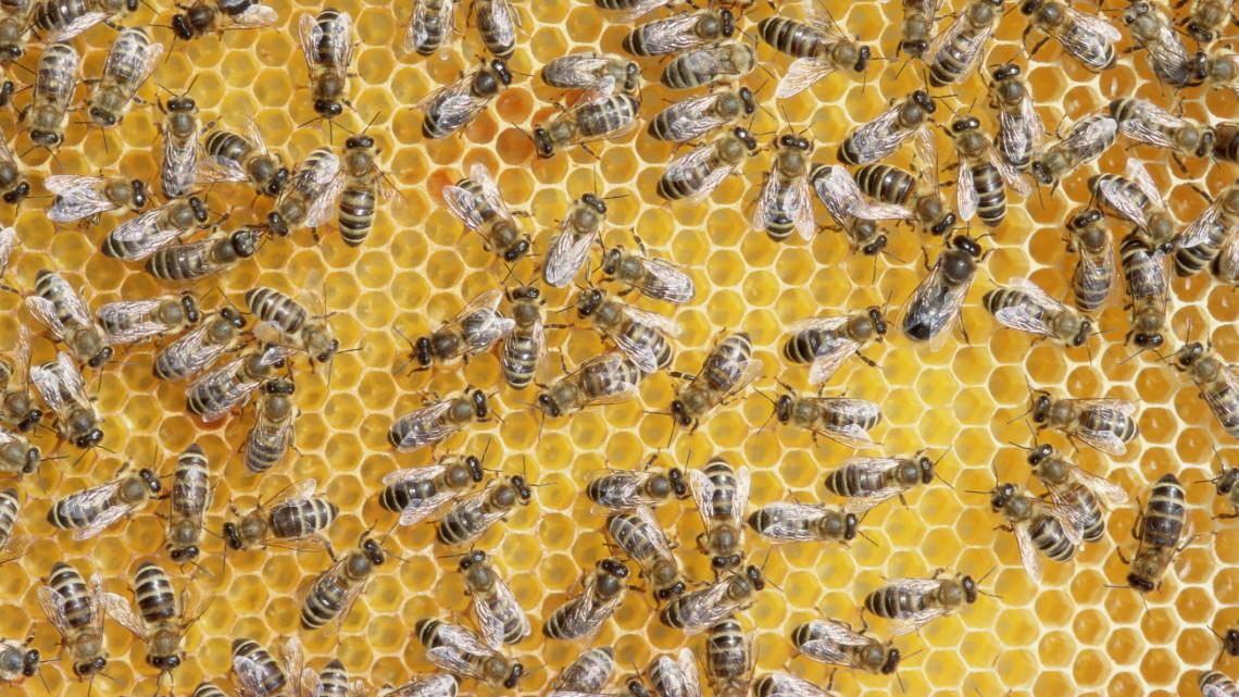 Méhek a nagyváros tetején: elképesztő módszerrel segítik a kis élőlényeket