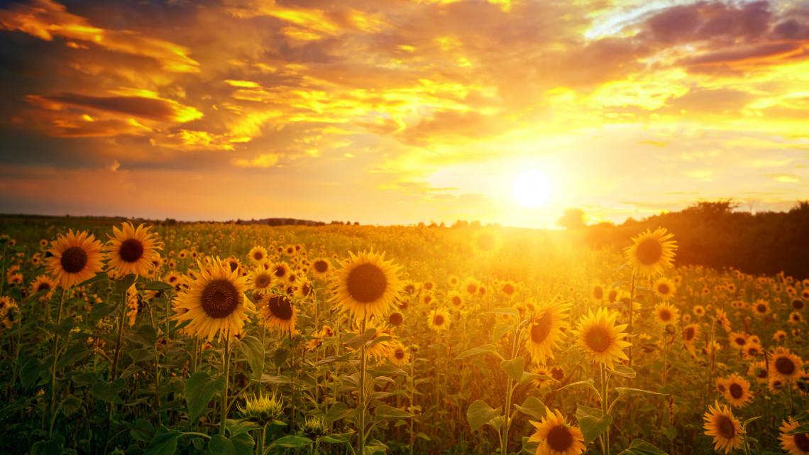 Mikor virágzik a napraforgó? Hány napig virágzik a napraforgó, a napraforgó mikor érik be?