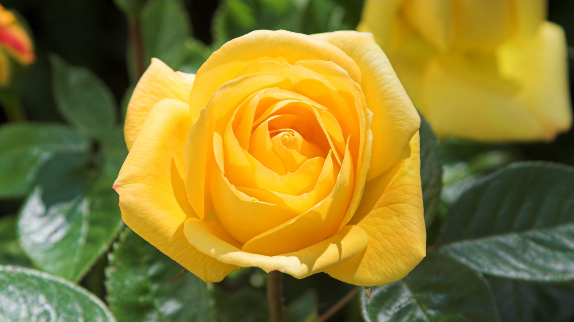 Sárga rózsa csokor: mi a sárga rózsa jelentése, mit üzen vele, akitől kaptuk?