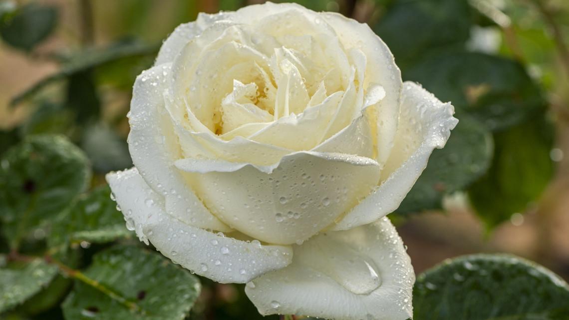 A fehér rózsa jelentése: erre utalhat egy fehér rózsa csokor