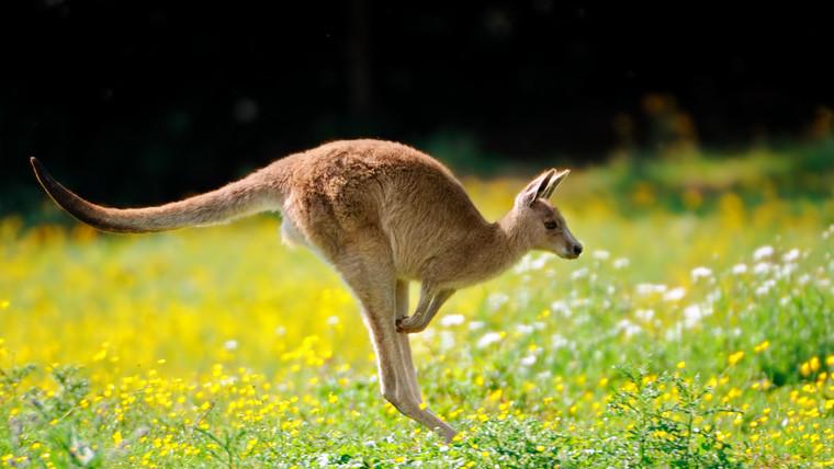 Furfangos szökés: meglépett két kenguru a Miskolci Állatkertből