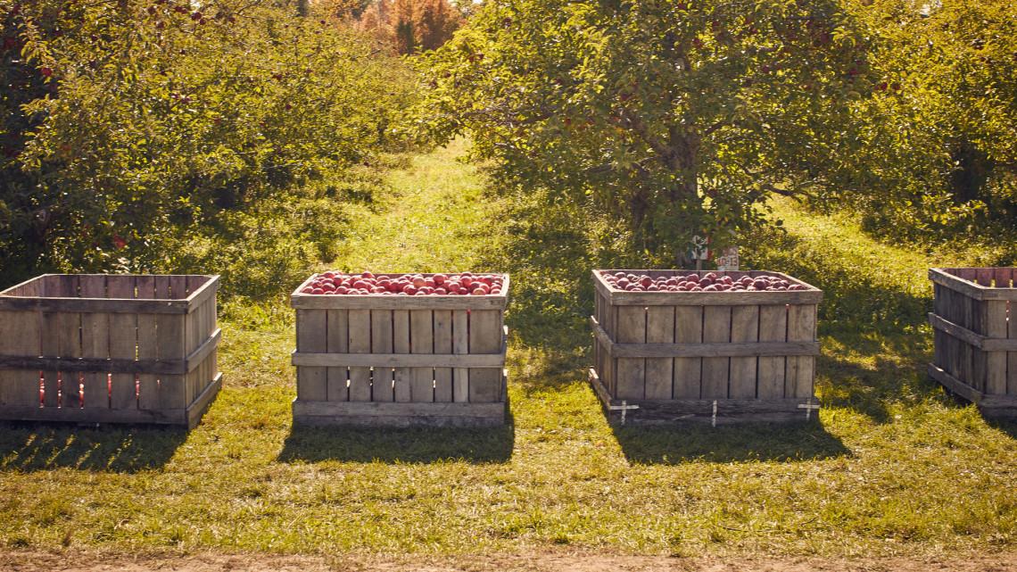 Borzalmasan elszálltak a gyümölcsárak: tényleg jobban járunk, ha magunk szedjük?
