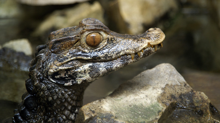 Baby boom Szegeden: tompaorrú krokodilokkal bővült a vadaspark