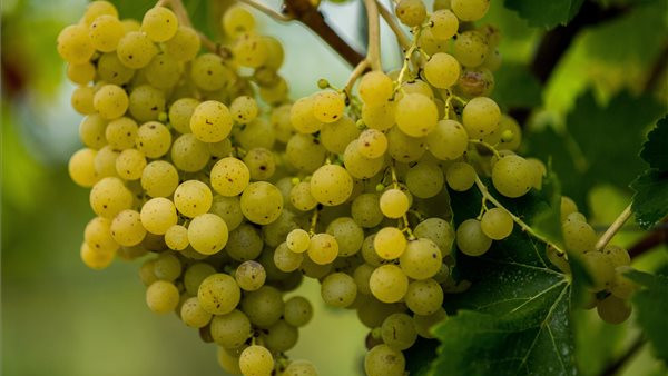 Apró, de pusztító kártevőtől retteghetnek a szőlősgazdák: ezért jelent fenyegetést