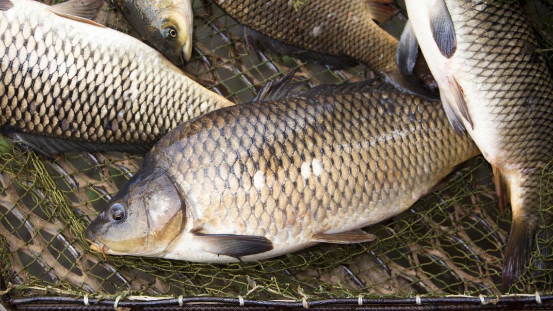 Örülhetnek a balatoni horgászok: 15 tonna pontyot telepítettek a magyar tengerbe