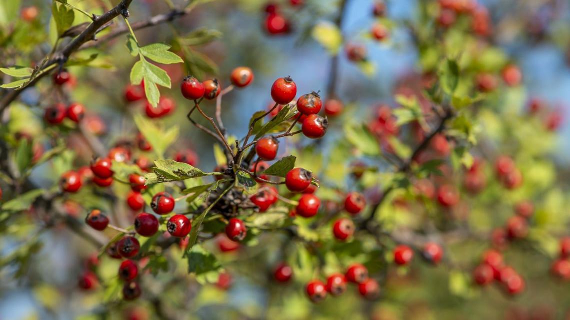 Igazi szupergyümölcsöket rejtenek az őszi erdők: érdemes betárazni a vitaminbombákból