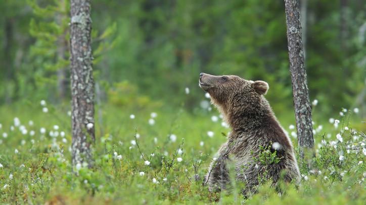 Megint medve kóborolt vidéken: egy tanyánál találták meg a nyomait