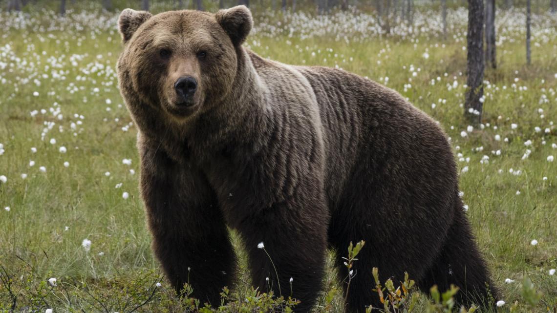 Újabb részletek derültek ki a Magyarországon kóborló medvéről: így üldözték a szerencsétlen állatot
