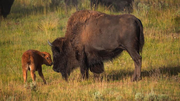 Robban a cukiságbomba: amerikai bölény született a Nyíregyházi Állatparkban