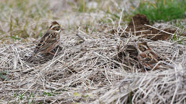Ritka madárfajt figyeltek meg Magyarországon: itt fülelték le a sármányt