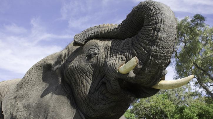 Fotókon a hatalmas jövevény: ismét Nyíregyházán Európa legnagyobb afrikai elefántja
