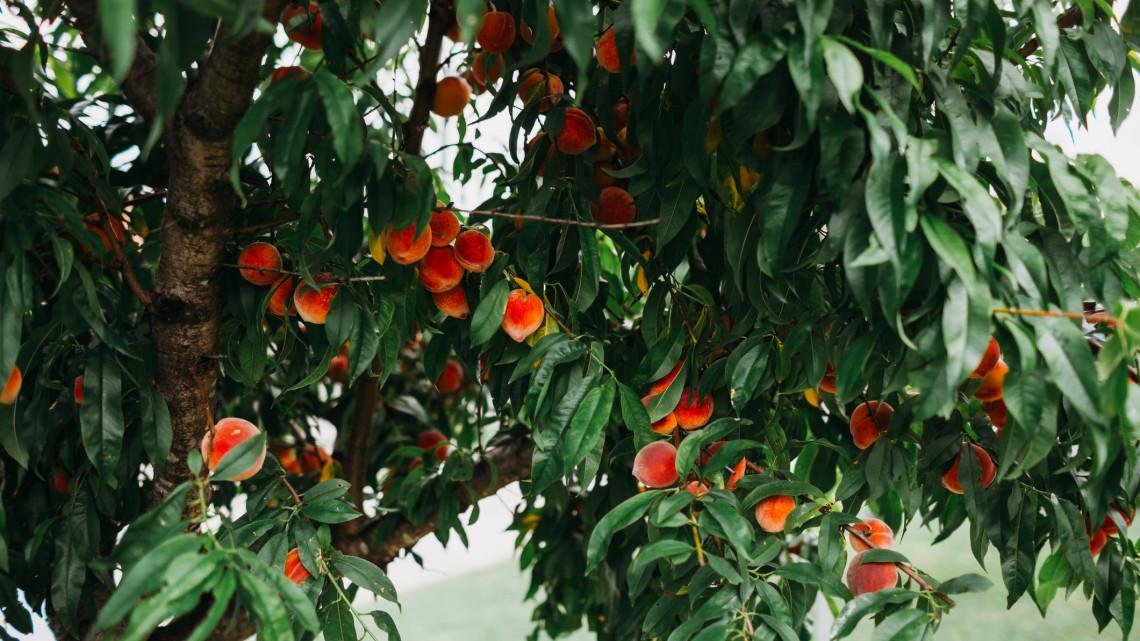 Hatalmas ugrás a mezőgazdaságnak: így karolja fel a siófoki gyümölcslégyártó az ágazatot