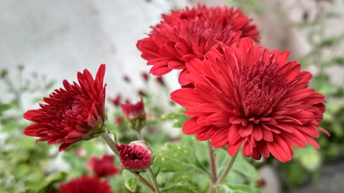 Koronavírus: hiánycikk lehet a temetők népszerű virága?